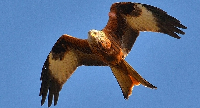ACEDA Captures Footage of a Local Red Kite's Nest 1671